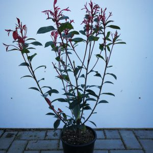 photinia-fraseri-red-robin